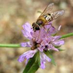 Wiesen Witwenblume Bluete pink Knautia arvensis 09