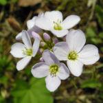 Wiesenschaumkraut Bluete rose Cardamine pratensis 01