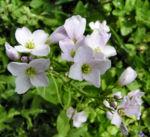 Wiesenschaumkraut Bluete rose Cardamine pratensis 05