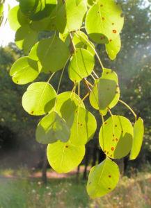 Wild Birne Holzbirne Frucht Blatt Rinde Pyrus pyraster 03