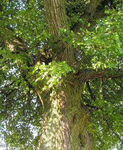 Wild Birne Holzbirne Frucht Blatt Rinde Pyrus pyraster 04