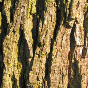 Wild Birne Holzbirne Frucht Blatt Rinde Pyrus pyraster 05