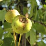 Wild Birne Holzbirne Frucht Blatt Rinde Pyrus pyraster 06