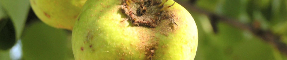 wildbirne-pyrus-pyraster