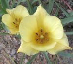 Wild Tulpe Blume Bluete hellgelb Tulipa batalinii 02