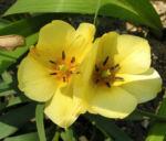 Wild Tulpe Blume Bluete hellgelb Tulipa batalinii 06