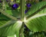 Wilde Karde Blatt gruen Dipsacus fullonum 12