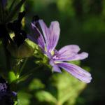 Wilde Malve Bluete lila Malva sylvestris 08