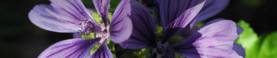 wilde-malve-bluete-lila-malva-sylvestris