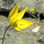 Wilde Tulpe Bluete gelb Tulipa sylvestris 09