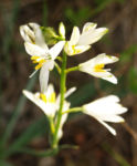 Wilder Lauch Bluete weiss Allium 01