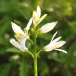 Wilder Lauch Bluete weiss Allium 02