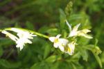 Wilder Lauch Bluete weiss Allium 03