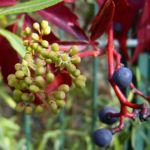 Wilder Wein Herbstlaub Parthenocissus thomsonii 01