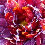 Winteraster lila geeist Chrysanthemum Indicum Hybride 01