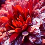 Winteraster lila geeist Chrysanthemum Indicum Hybride 03