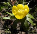 Winterling Bluete gelb Eranthis hyemalis 10