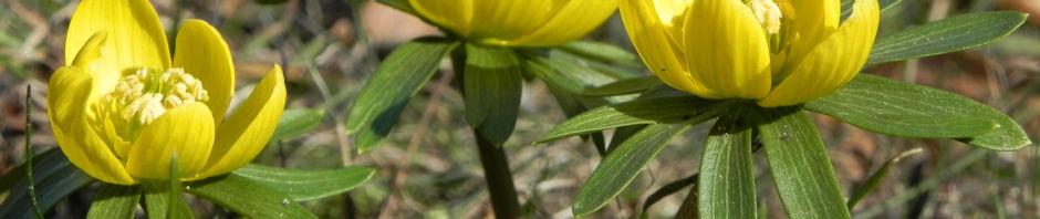winterling-bluete-gelb-eranthis-hyemalis