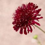 Witwenblume Blute purpur Knautia macedonica 01