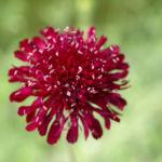 Witwenblume Blute purpur Knautia macedonica 04