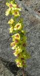 Woll Koenigskerze Bluete gelb Verbascum alpinum 03