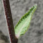 Woll Koenigskerze Bluete gelb Verbascum alpinum 05