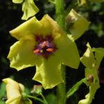 Woll Koenigskerze Bluete gelb Verbascum alpinum 07