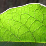 Wollbluetiger Nachtschatten Blatt gruen Solanum mauritianum 04