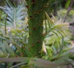 Wollemie Baum Nadel gruen Wollemia nobilis 02