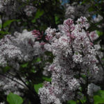 Wolliger Flieder Bluete weiss rosa Syringa pubescens 04