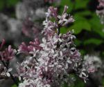 Wolliger Flieder Bluete weiss rosa Syringa pubescens 06