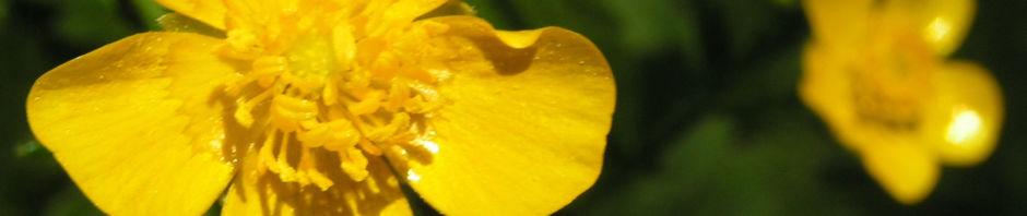 wolliger-hahnenfuss-bluete-gelb-ranunculus-lanuginosus