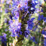 Ysop Bluete blau Hyssopus officinalis 03