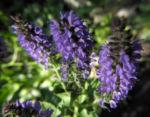 Ysop Bluete blau Hyssopus officinalis 18