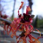 Zaubernuss Ruby Glow Hamamelis x intermedia 04