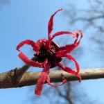 Zaubernuss Strauch Bluete rot Hamamelis x intermedia 03