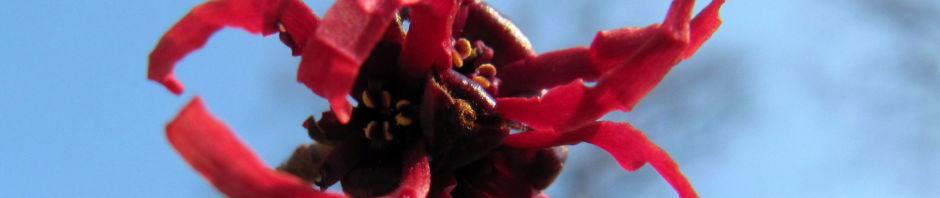 hybrid-zaubernuss-strauch-bluete-rot-hamamelis-x-intermedia