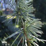 Zeder Cedrus brevifolia 01