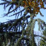 Zeder Cedrus brevifolia 05