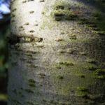 Zeder Cedrus brevifolia 06