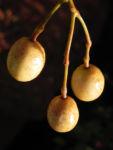 Zedrachbaum Frucht gelblich Melia azedarach 06