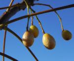 Zedrachbaum Frucht gelblich Melia azedarach 13