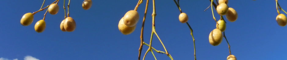 zedrachbaum-frucht-gelblich-melia-azedarach