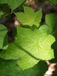 ZierHimbeere Stauch Blatt gruen Cimicifuga rubifolia 02