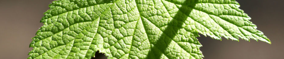zier-himbeere-stauch-blatt-gruen-actaea-cordifolia