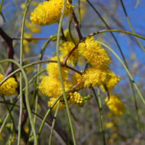 Zigzag Wattle Bluete gelb Acacia merinthophora 03