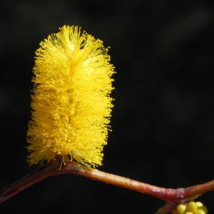 Zigzag Wattle Bluete gelb Acacia merinthophora 06