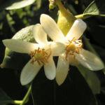Zitrone Baum Bluete weiss Citrus limon 02