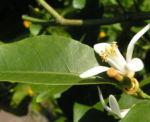 Bild:  Zitrone Baum Blüte weiß Citrus x limon