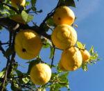 Zitronen Baum Frucht gelb Citrus x limon 01